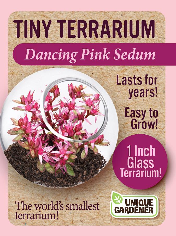 Dancing Pink Sedum